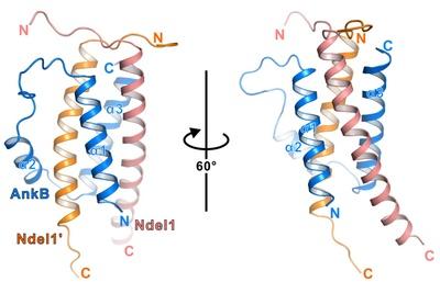 中国科大在神经细胞极性维持的分子结构机制研究中取得新进展