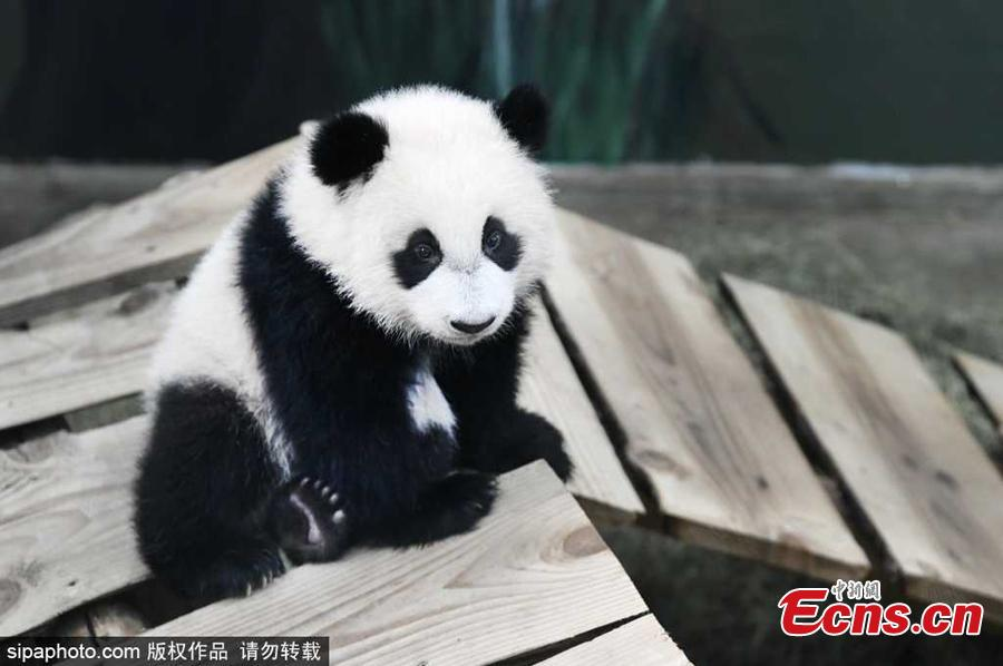 <p>Panda baby Fan Xing plays in his indoor enclosure in Ouwehands Zoo in Rhenen, the Netherlands, November 19, 2020. The panda was  born on May 1, 2020 and is the first baby of Wu Wen and Xing Ya, who came to the Netherlands from China. (Photo/SipaPhoto)</p>