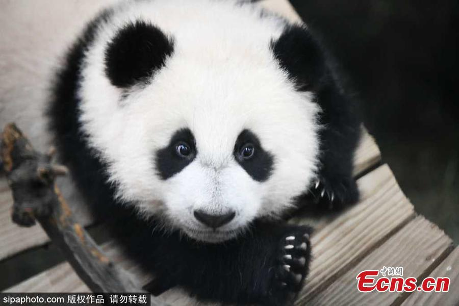 Dutch zoo releases new photos of giant panda cub