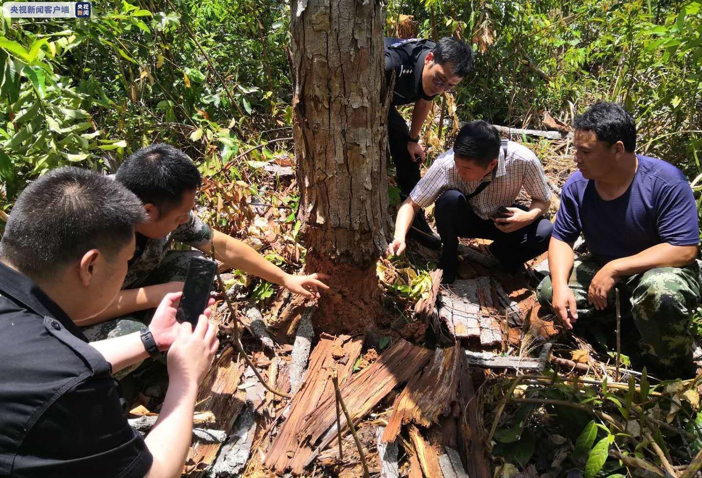 冲击合法陵犯林地种茶造林 云南备案1061起打处837人