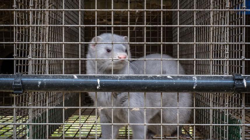 法国初次发明养殖水貂传染新冠病毒