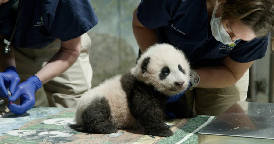 "Feature: U.S. zoo names giant panda cub ""little miracle"""