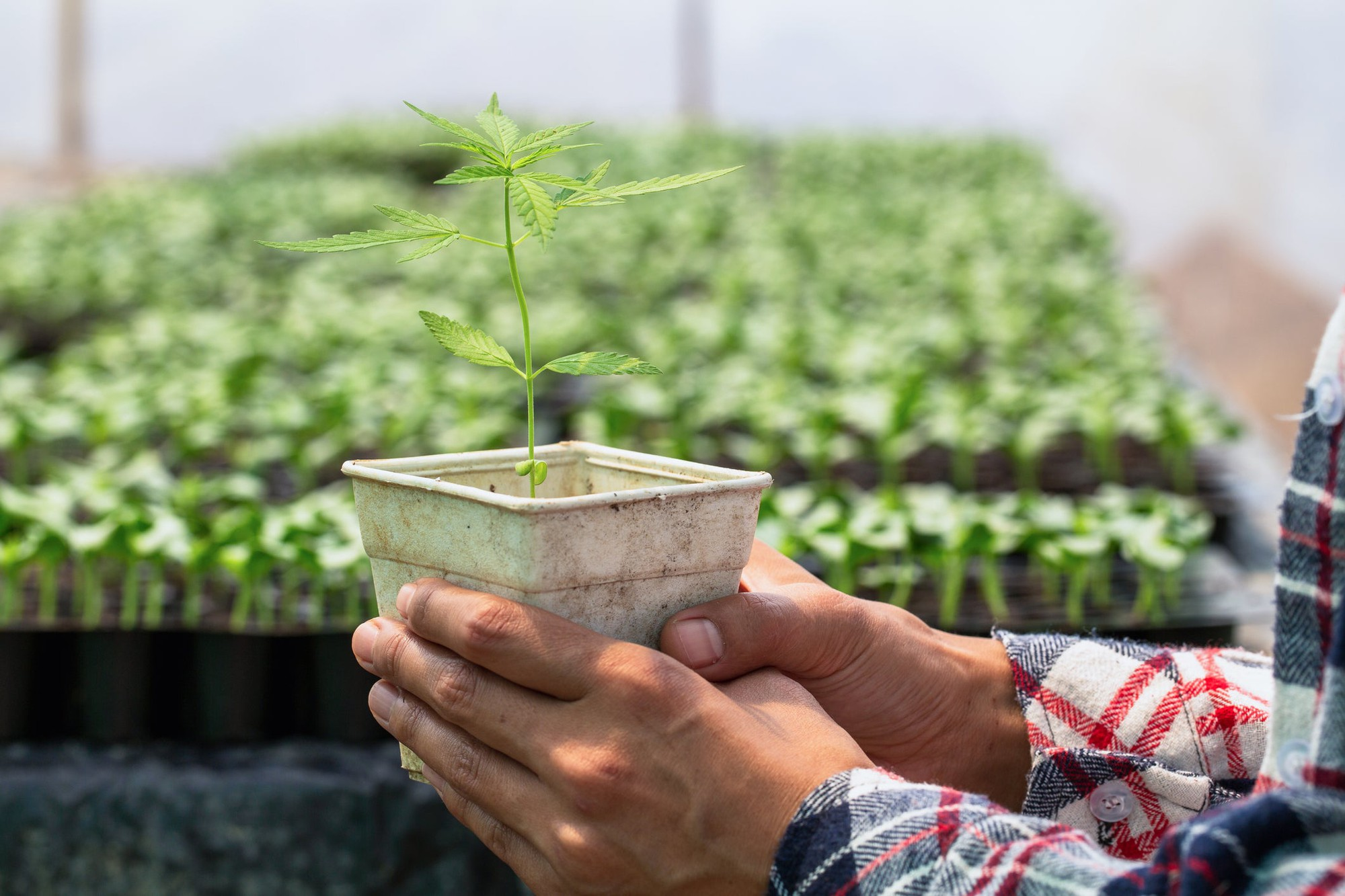 Aurora vs Canopy Growth:哪只大麻股更值得买入?