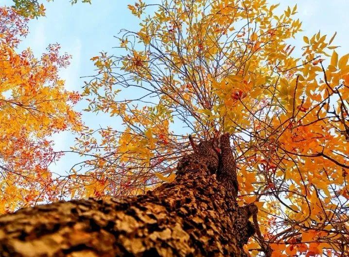 初冬的江南,黄了树叶,美了芳华!图片