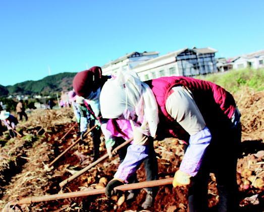 贵州马铃薯高产示范项目突破万斤大关图片