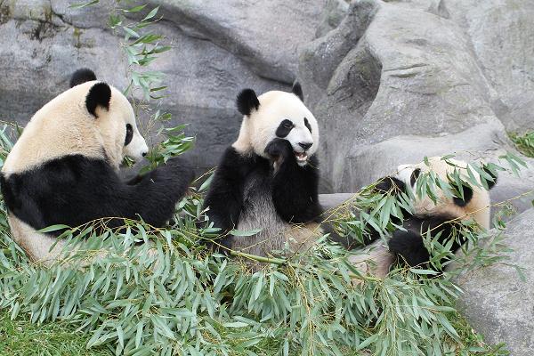 """旅加七年的大熊猫""""大毛""""和""""二顺""""启程回国图片"""