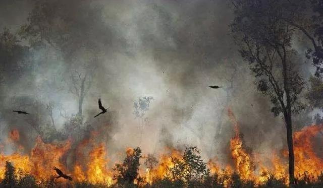 鸟类在火场上空飞翔。/推特