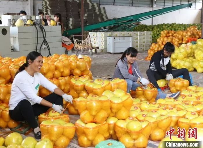 江永县粗石江镇的果农将香柚发往全国各地。 陈健林 摄