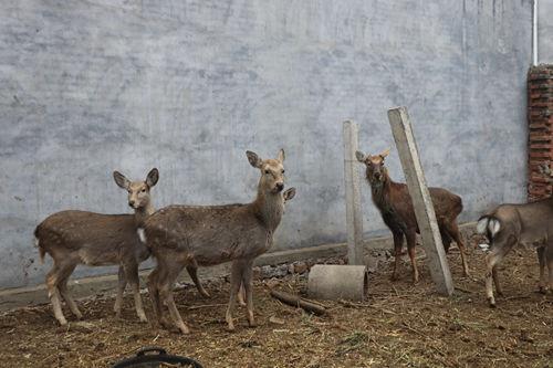 汝州市蟒川镇:贫困户靠养殖梅花鹿走上致富路