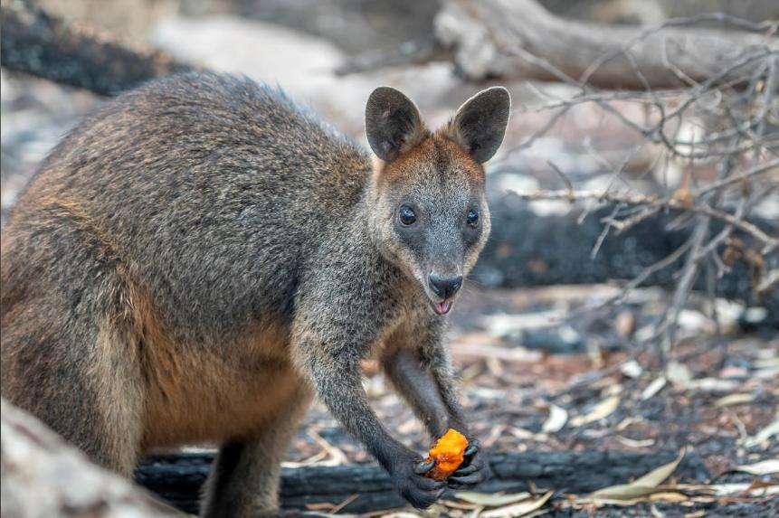 新南威尔士州的袋鼠(图片来源:路透社)