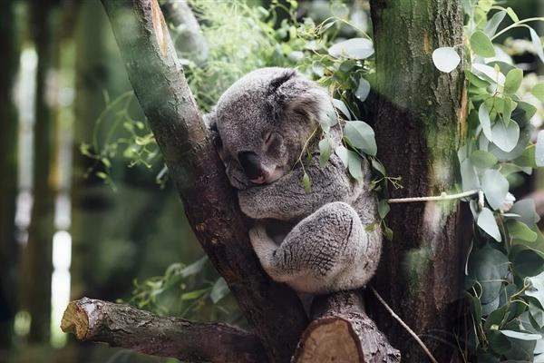 生存环境堪忧!万人联名要求考拉迁入新西兰