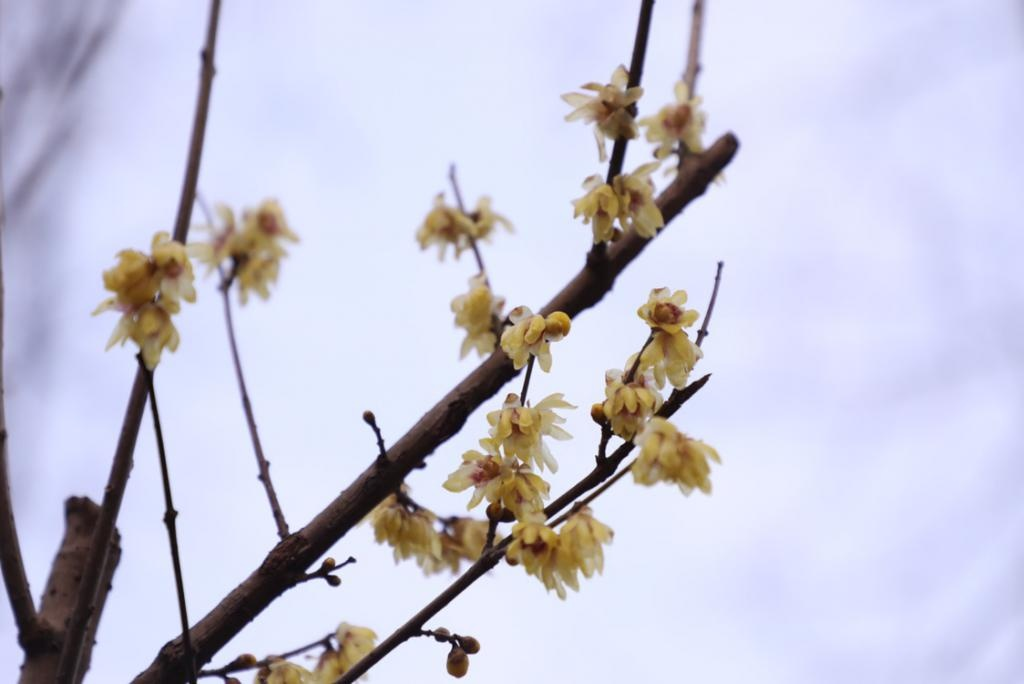 蜡梅幽香打头阵,湖南省植物园2020年冬之韵开幕