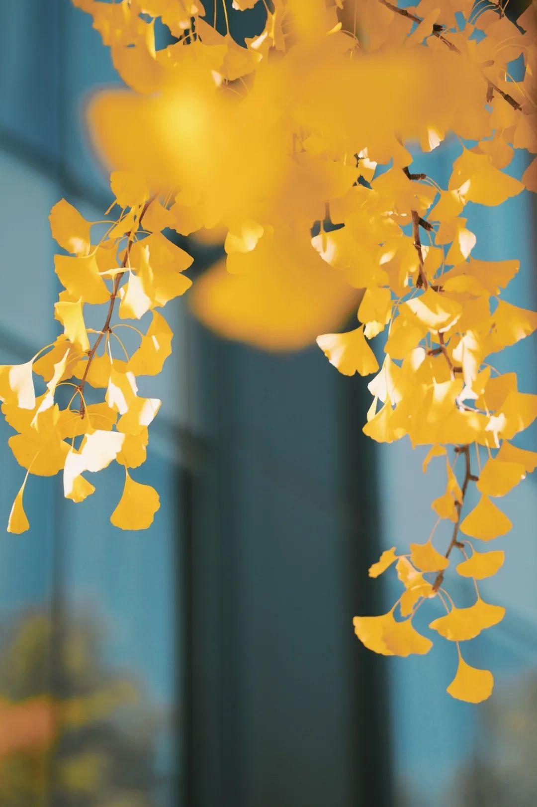 师大的秋,是一阵金色清风的吹拂图片
