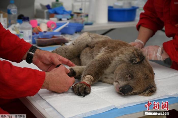 当地时间1月14日,一只受伤的考拉正在接受兽医的烧伤治疗。