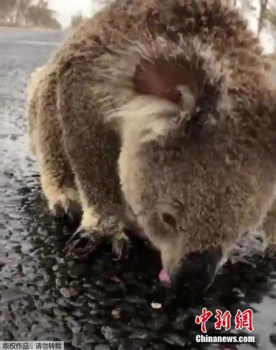 在新南威尔斯莫里镇的一条马路上,一只考拉不断舔舐马路上的雨水解渴。