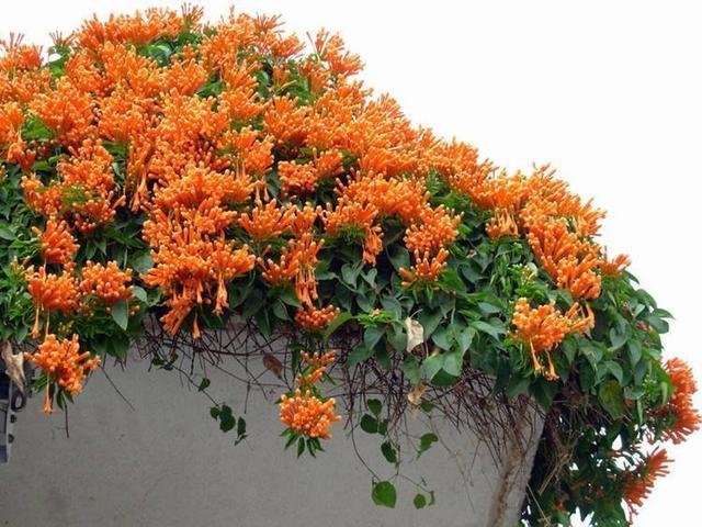 这花过年可不能少,一串串开花墙边都是花苞,远看红艳艳美极了