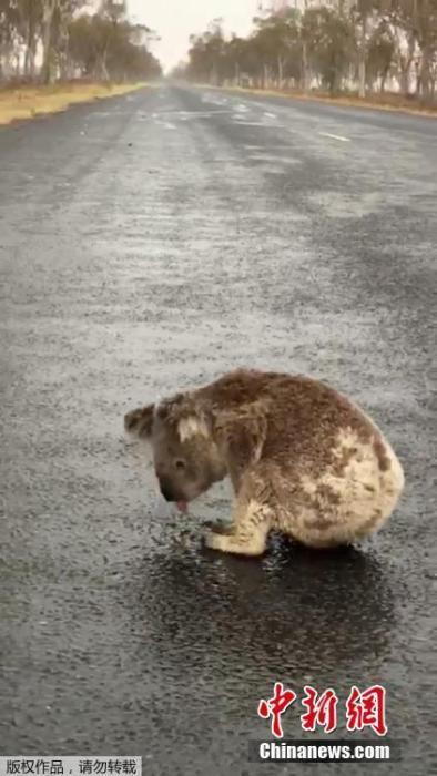 一只考拉不断舔舐马路上的雨水解渴。