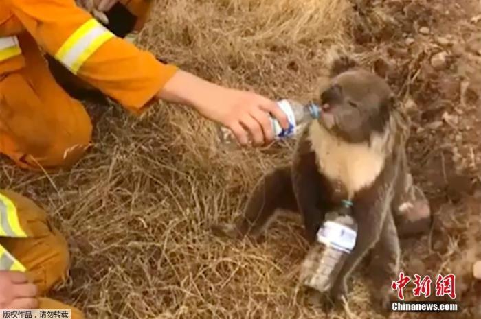 澳大利亚一位消防员被拍到正在给干渴的考拉喂水喝。