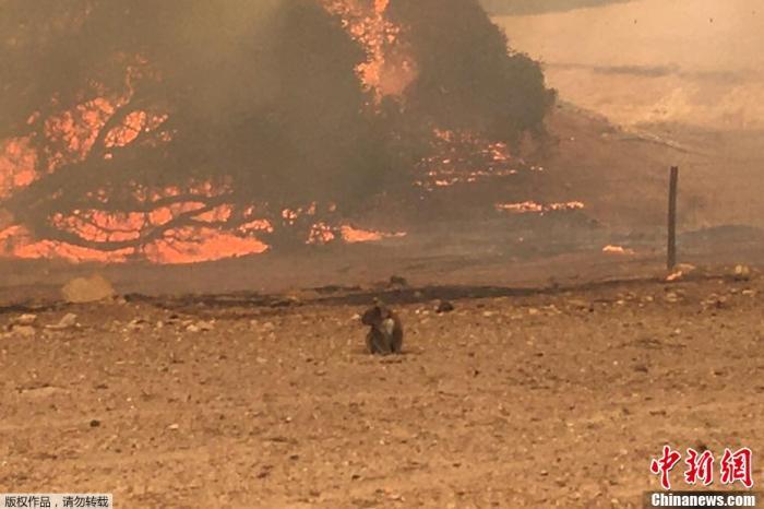 一只考拉站在田野中,背景是熊熊燃烧的丛林大火。
