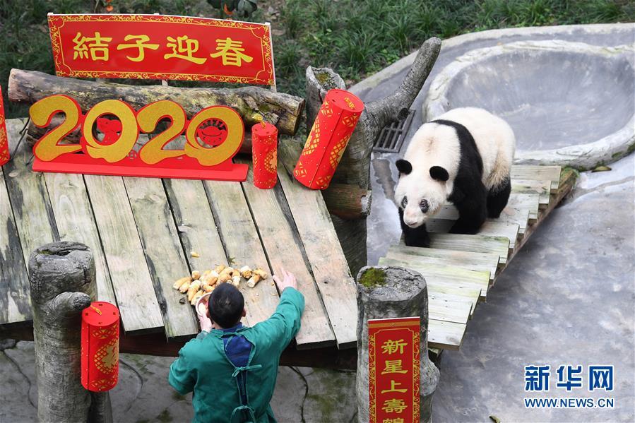 最长寿圈养大熊猫过新年(图)