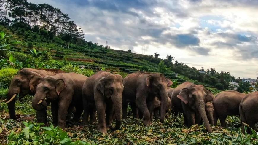 16头亚洲象首次造访云南墨江 当地加强监测预警和宣教培训图片