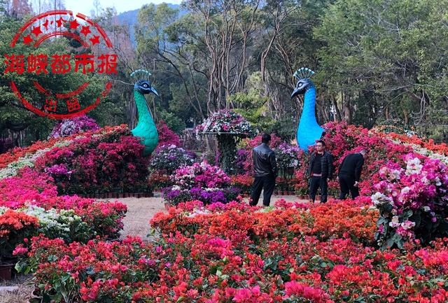 2.5万株三角梅扮靓福州国家森林公园