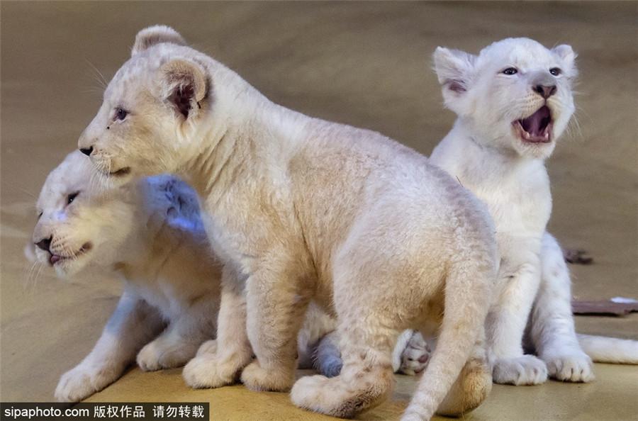 德国动物园罕见白狮幼崽亮相 乖萌可爱颜值无敌