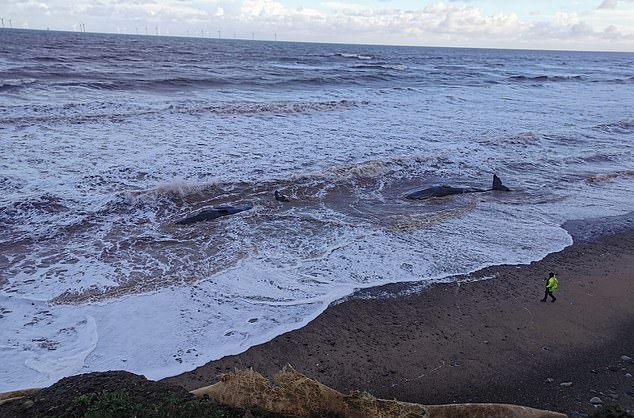 十头抹香鲸被冲上英国东约克郡海滩 不幸全部死亡