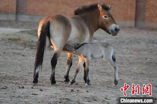 新疆野马繁殖研究中心三匹野马被认养