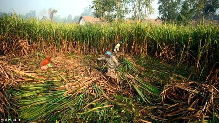 印度鼓励国人多食糖以及甘蔗转产乙醇 解决食糖产能过剩以及出口受阻