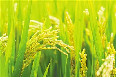 """""""植物护甲"""" 帮农作物避开除草剂"""