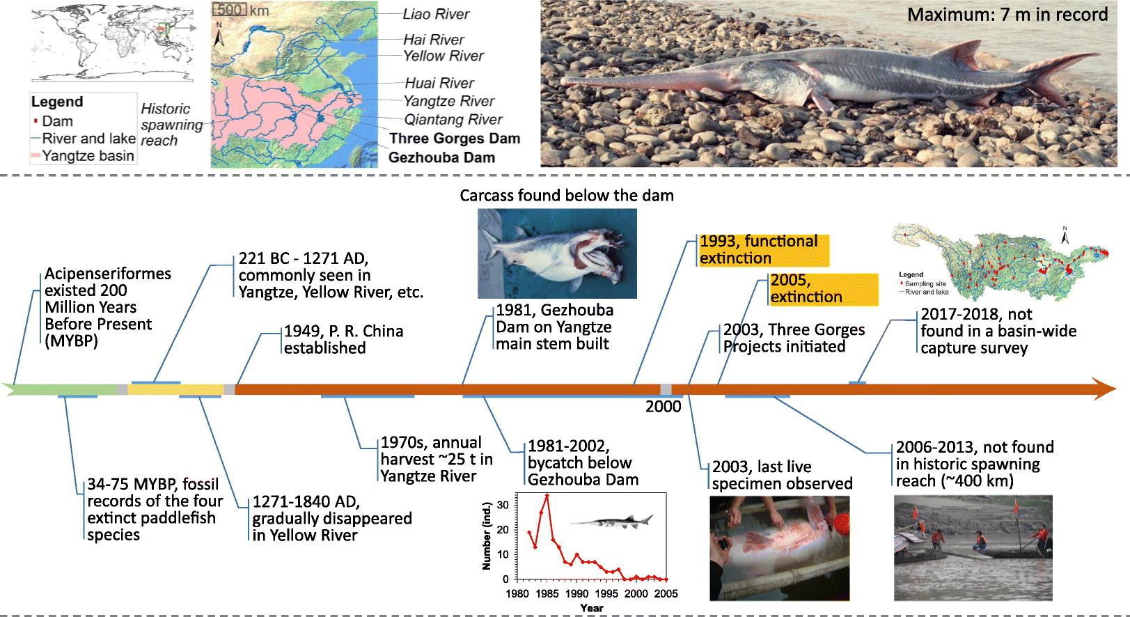 """""""淡水鱼王""""白鲟被指十年前功能性灭绝,已17年未现身图片"""