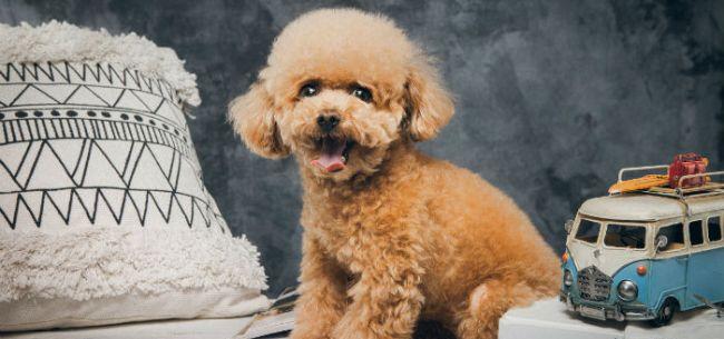 为爱消费 宠物主人给泰迪拍艺术照花几百到上万