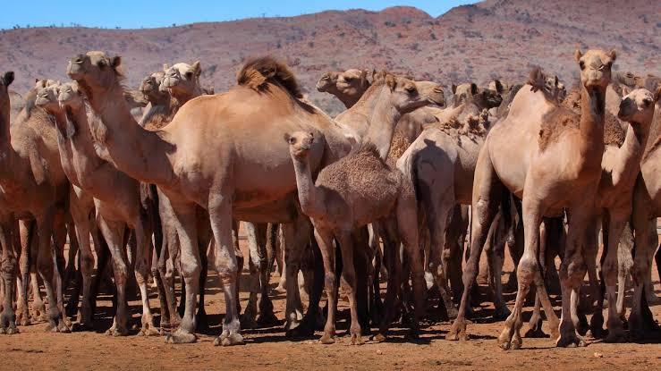 澳大利亚的骆驼 推特图下同