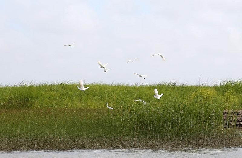 长江口最靠外海的新生湿地——九段沙 一群候鸟在九段沙湿地下沙区域飞翔。