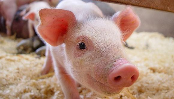 直通部委|农业农村部:预计春节猪肉供需总体平稳 工信部:天涯社区等15款APP被通报