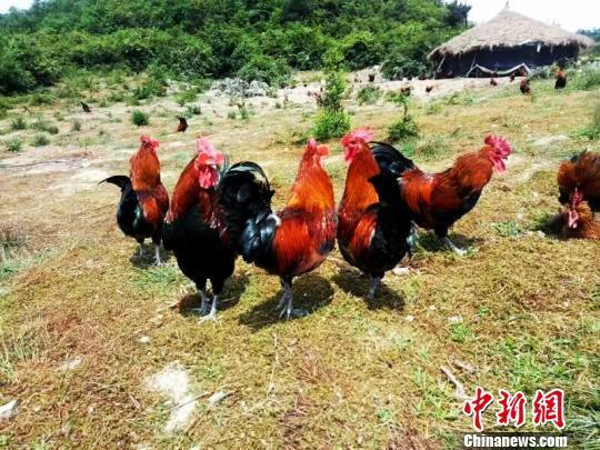 资料图:贵州省福泉市仙桥乡的山地草棚鸡养殖。 福轩 摄