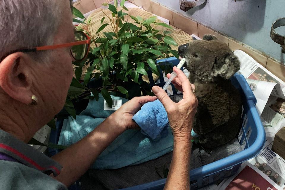11月7日,在澳大利亚麦夸里港,一只在山火中受伤的考拉得到救助。(新华社/路透/图)