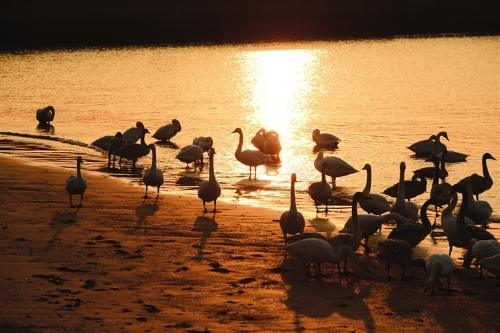 展翅腾飞:石岛湾大天鹅