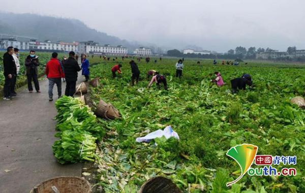 图为志愿者们正在农场内采摘蔬菜。四川农业大学供图