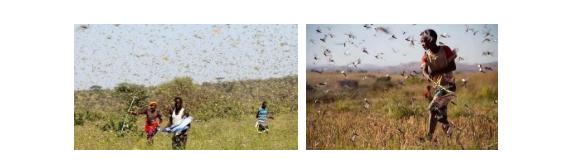 非洲飞蝗(图片源自网络)