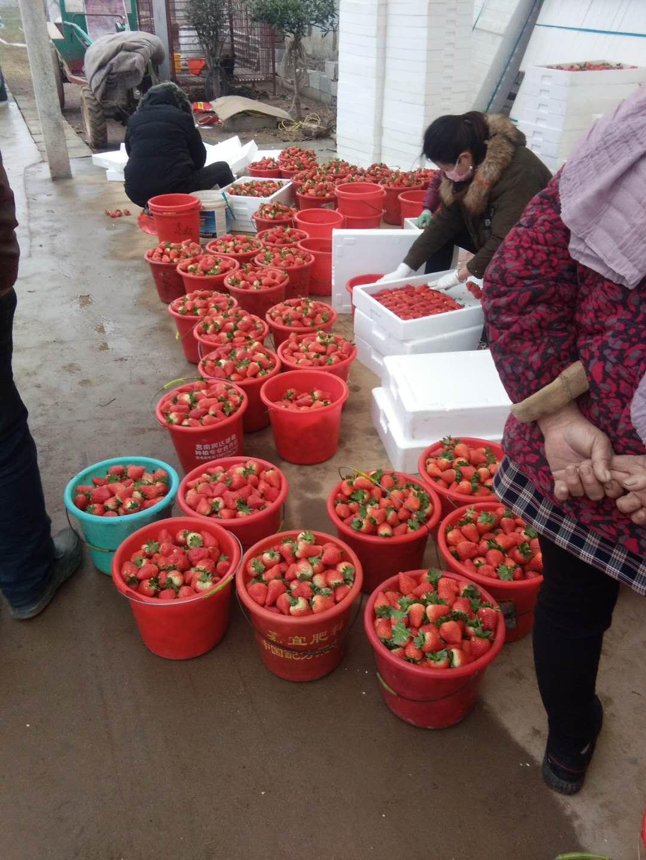 收获的草莓。受访者供图
