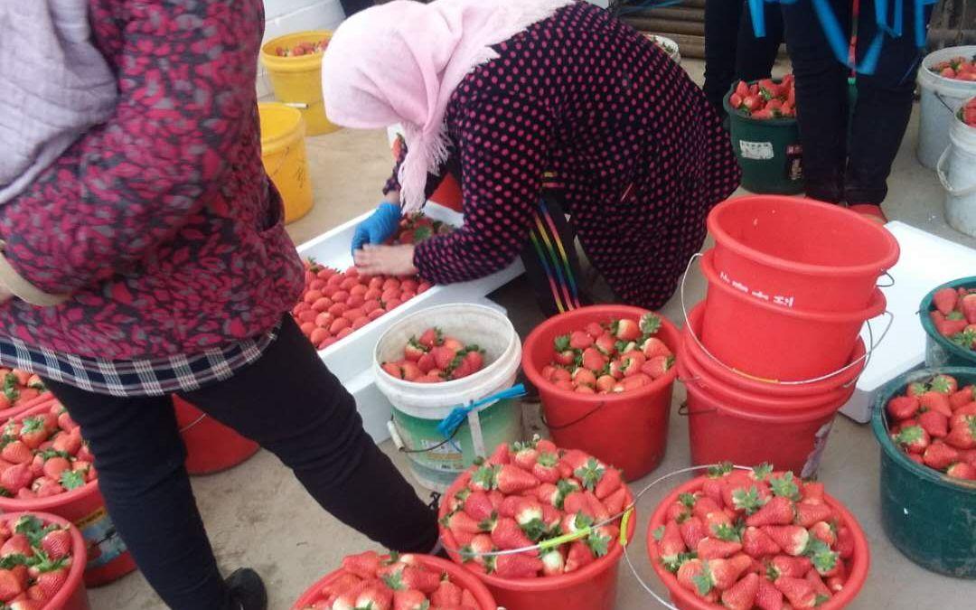 大店镇的草莓已经陆续转色了。受访者供图