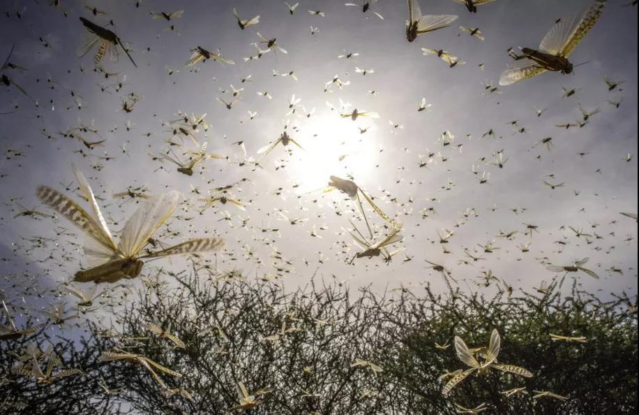 沙漠蝗虫侵袭印巴,农业农村部:严防蝗虫迁入危害图片