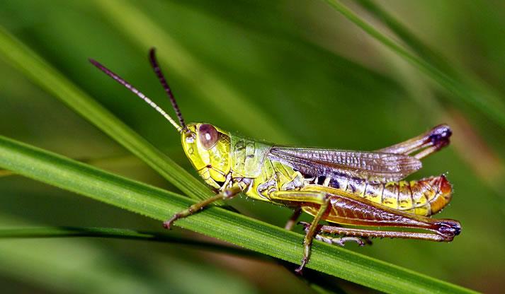 """东非蝗灾蔓延至南亚 是谁吹响了几千亿只蝗虫的""""冲锋号"""""""