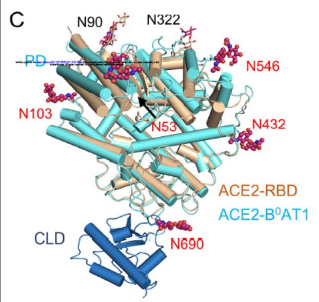 ACE2中的糖基化位点,赤色球形为在本研究中发明的