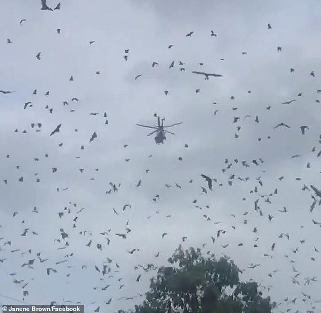 澳洲多地蝙蝠泛滥遮天蔽日,居民苦不堪言,政客提议运去山火灾区