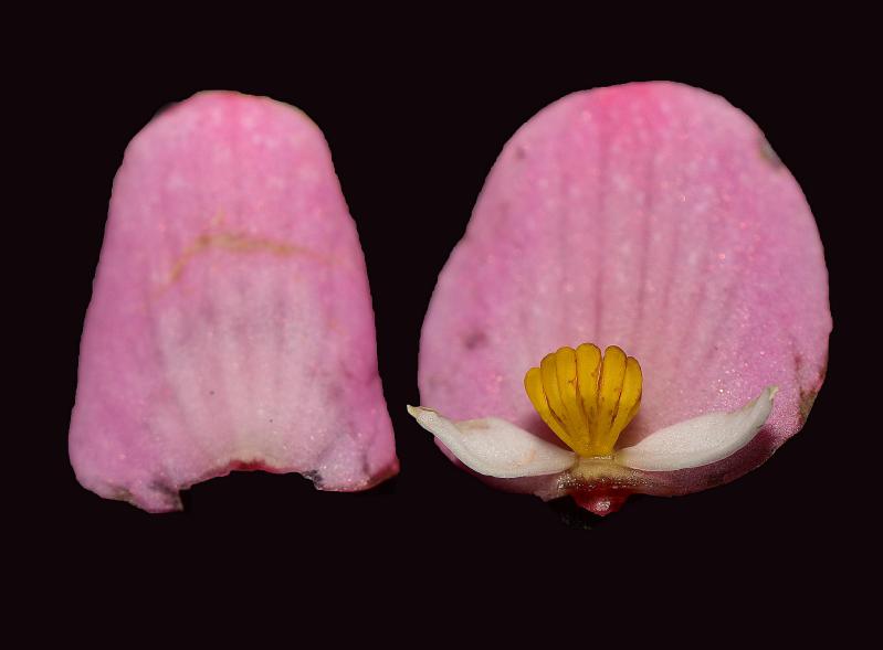 云南发现新植物秋海棠 暂评估等级为濒危