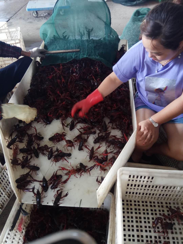 疫情冲击上下游:被饿瘦了的网红小龙虾 价格还可能大涨