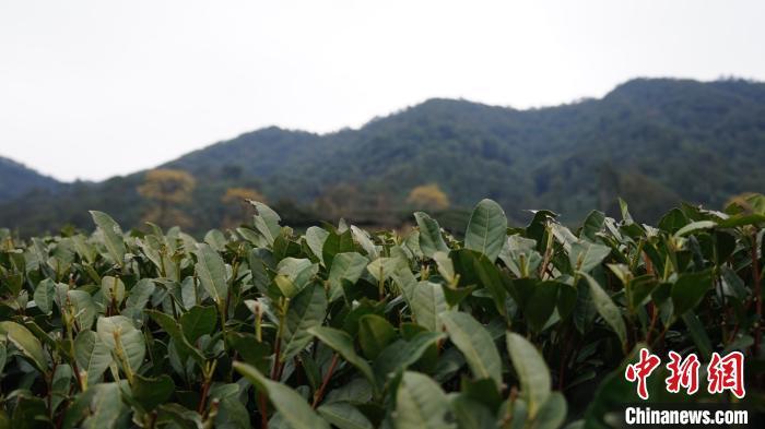 西湖龙井预估三月中旬开采 采茶
